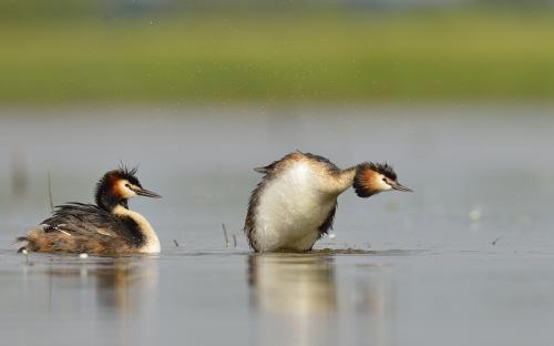 """Couple de grebe""    C.Balcaen"