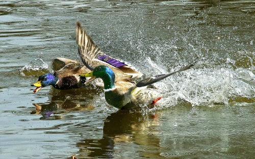 """Canards colverts mâles""     Collectif Club"